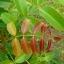 มะกอกป่า thumbnail 4