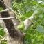 มะกอกป่า thumbnail 3