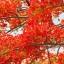 หางนกยูงฝรั่ง thumbnail 3
