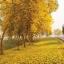 เหลืองอินเดีย thumbnail 3