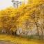 เหลืองอินเดีย thumbnail 2