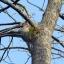 มะกอกป่า thumbnail 2
