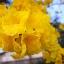 เหลืองอินเดีย thumbnail 4